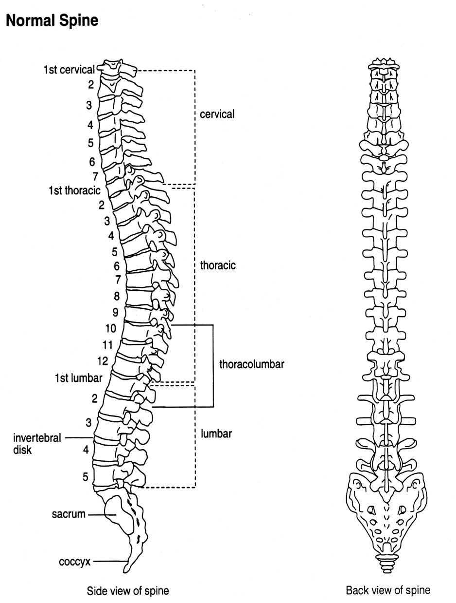 Side View And Back View Of A Normal Spine