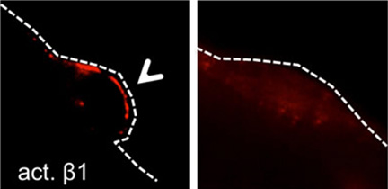 Young satellite cells (left panel) carrying active β1-integrin (red) localize to the edge of a muscle fiber (dotted line). However older cells (right panel) drift away from it indicating the cells' impaired function.