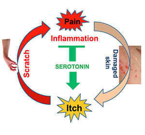 Scratching an itch causes minor pain which prompts the brain to release serotonin. But serotonin also reacts with receptors on neurons that carry itch signals to the brain making itching worse.