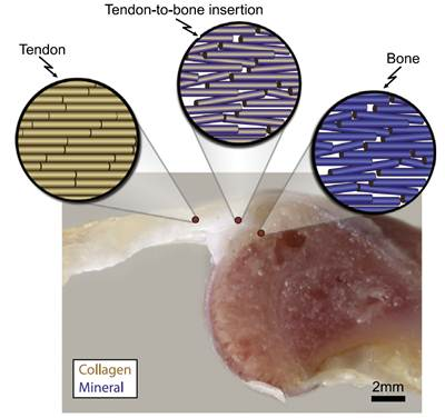 muscle activity necessary for healthy tendon bone interface