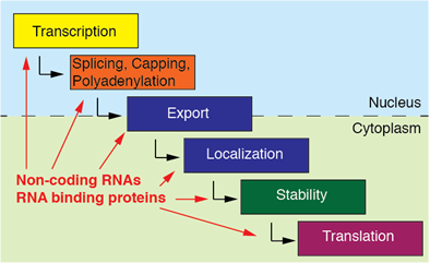 A rough categorization of interconnected posttranscriptional gene regulatory processes based on cellular compartmentalization.
