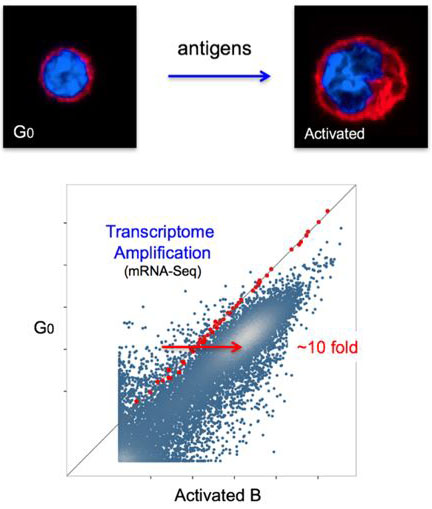 Activation of naive B cells leads to amplification of the transcriptome.