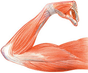 Anatomical drawing of an arm with muscles