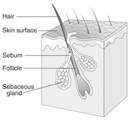 An anatomical illustration of a cross-section of skin depicting the skin surface, the follicle with a hair, the sebaceous gland, and the sebum.