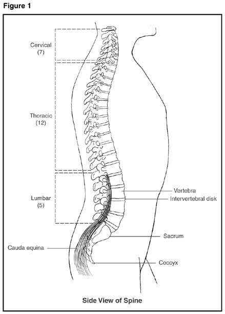 An anatomical illustration depicting a sideview of the spine, showing the cervical spine, the thoracic spine, the lumbar spine, the vertebrae, the intervertebral disks, the sacrum, the coccyx, and the cauda equina.