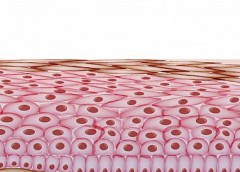 Illustration of skin cells and layers