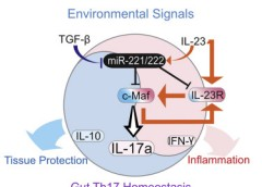 Graphical abstract showing MicroRNA-221 and -222 modulating intestinal inflammatory Th17 cell response.
